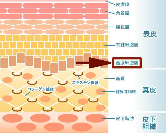 基底細胞層