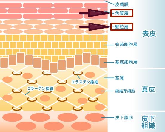 角質層:顆粒層