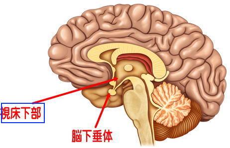 脳(視床下部、脳下垂体)